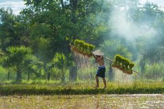 Farmer carrying harvested rice sprouts to replant in rice farm. Sakonnakhon, Thailand - July 30, 2016: Farmer carrying dripping rice sprouts from small area farm Royalty Free Stock Photo
