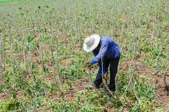 Farmer in cassava farm field Stock Photography