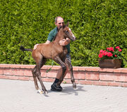 Farmer catching one day foal Royalty Free Stock Image