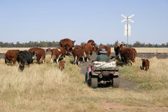 Farmer and cattle. Working with cattle on a farm in central west NSW, Australia Royalty Free Stock Photos
