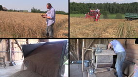 Farmer check harvest and sift wheat plants. Video clips collage. Farmer check harvest and sift wheat plants. Red combine harvester. Grain unload from truck stock footage
