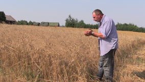 Farmer check his agricultural field. Mature wheat plants Royalty Free Stock Image