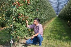 Farmer checking apples in orchard. Handsome farmer squatting in modern apple orchard by the trees with ripe fruit royalty free stock photography