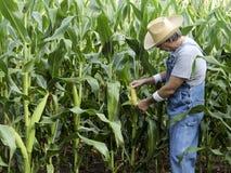 Farmer checking corn field Royalty Free Stock Photography