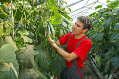 Farmer checking cucumber. Farmer checking and controlling cucumber in a greenhouse stock images