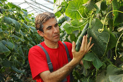 Farmer Checking Cucumbers in Commercial Grenhouse Royalty Free Stock Photos