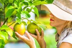 Farmer Checking Grapefruit Stock Photo
