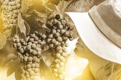 Farmer Checking Grapes Stock Image