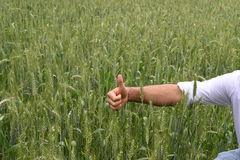 Farmer checking health of his lush green wheat field Royalty Free Stock Photo