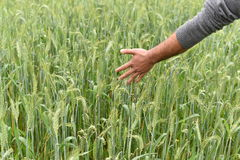 Farmer checking health of his lush green wheat field Stock Image