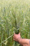 Farmer checking health of his lush green wheat field Royalty Free Stock Image