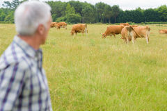 Farmer checking herd cattle. Farmer checking herd of cattle royalty free stock images