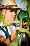Farmer checking his cornfield Royalty Free Stock Images