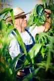 Farmer checking his cornfield Stock Photography