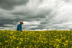 Farmer checking his crop of canola. Farmer checking his canola crop before the storm Royalty Free Stock Photo