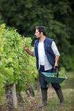 Farmer checking his grapes. Stock Images
