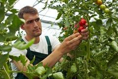 Farmer checking his tomatoes Royalty Free Stock Photo