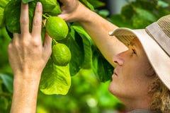 Farmer Checking Lemons Royalty Free Stock Photos