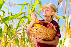 Farmer checking maize quality Stock Image