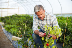 Farmer Checking Organic Chilli Plants In Greenhouse Royalty Free Stock Images