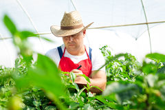 Farmer checking organic chilli plants Royalty Free Stock Photos