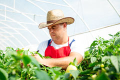 Farmer checking organic chilli plants Stock Photography