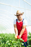 Farmer checking peppers plants In greenhouse Stock Photos