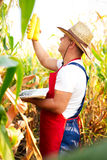 Farmer checking the quality of the corn crops Stock Images