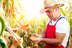 Farmer checking the quality of the corn crops Stock Photography