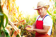 Farmer checking the quality of the corn crops Royalty Free Stock Photography
