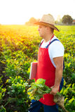 Farmer checking the quality of the sugar beets Royalty Free Stock Photo