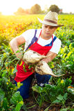 Farmer checking the quality of the sugar beets Stock Photos