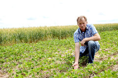 Farmer checking soybean field. Male farmer checks the soybean harvest. The unique technology of growing crops. Farmer sitting in the field on a background of Royalty Free Stock Photo