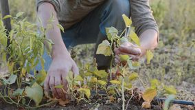 Farmer checking sweet potato plants at field of his farm, close-up. stock footage