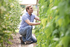 Farmer Checking Tomato Plants In Greenhouse Royalty Free Stock Photos