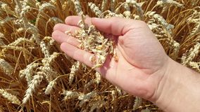 A farmer checks the wheat in the field. Hand holds wheat grain. Wheat field stock footage