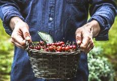 Farmer with cherries Stock Photos