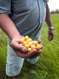 Farmer with cherry. Farmer holds yellow cherry in hand close-up Stock Photo