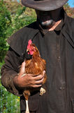 Farmer with chicken. Farmer holding chicken while checking its health Stock Images