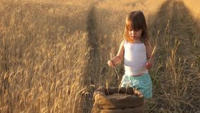 Farmer child plays with spikelets of wheat in the field. baby holds an ear. little son, farmer`s daughter, plays in the stock video