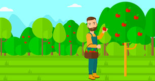 Farmer collecting apples. Stock Photography