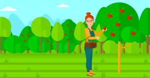 Farmer collecting apples. Royalty Free Stock Photos