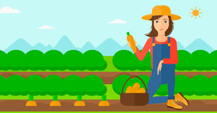 Farmer collecting carrots. A woman collecting carrots in basket on the background of field rows with green bushes vector flat design illustration. Horizontal Royalty Free Stock Image