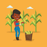 Farmer collecting corn vector illustration. Royalty Free Stock Images