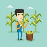 Farmer collecting corn vector illustration. Stock Image