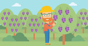 Farmer collecting grapes. Royalty Free Stock Images