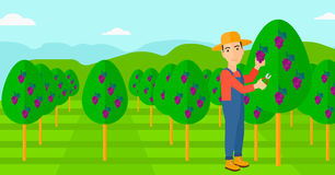 Farmer collecting grapes. Royalty Free Stock Photography