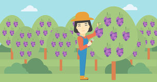 Farmer collecting grapes vector illustration. Stock Image