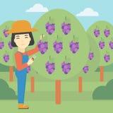 Farmer collecting grapes vector illustration. Stock Photos
