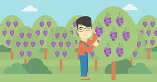 Farmer collecting grapes vector illustration. Stock Images